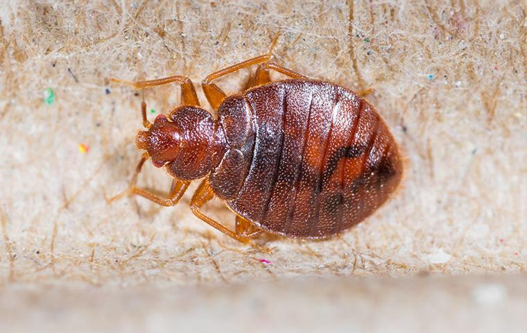 close up of a red bed bug crawling on a persons skin