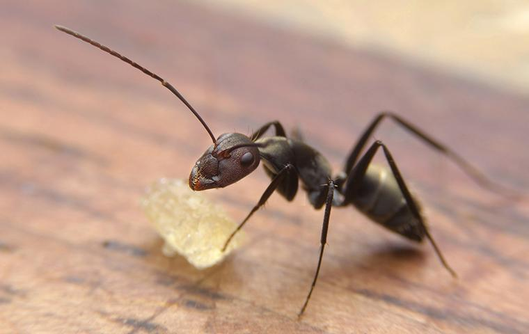 a black ant crawling on a wooden countertop in a california home