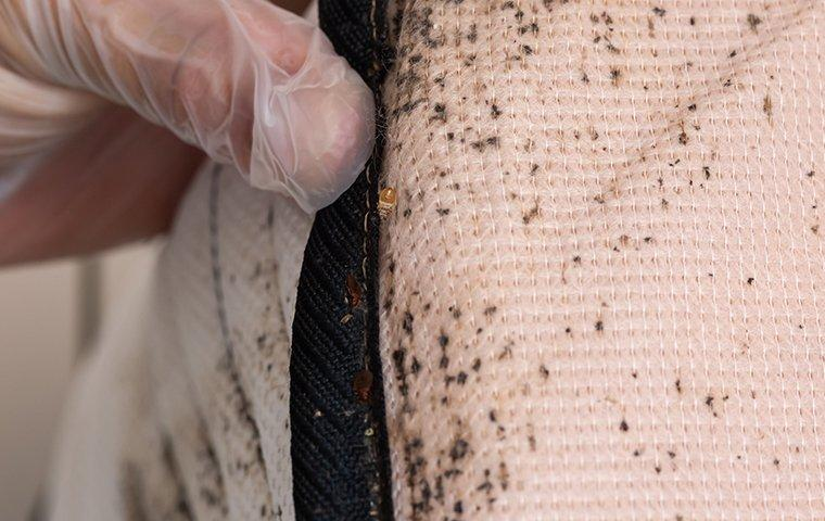 a bed bug infestation on a mattress