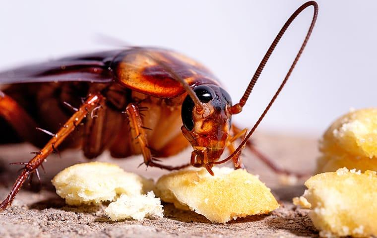 an oriental cockroach eating crumbs off of a eureka kitchen counter top during daylight