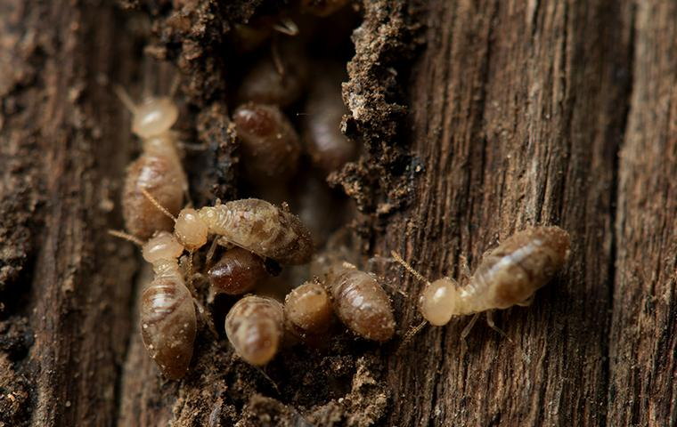 a large swarm of termites burrowing through a wooden structure on a property in eureka california