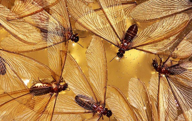 swarming termites flying in a home