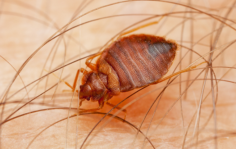close up of a bed bug crawling on someones skin