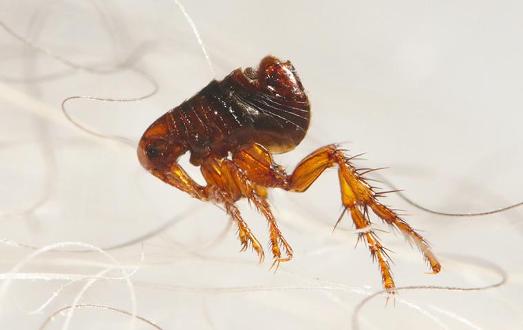 close up of a brown flea crawling through hair
