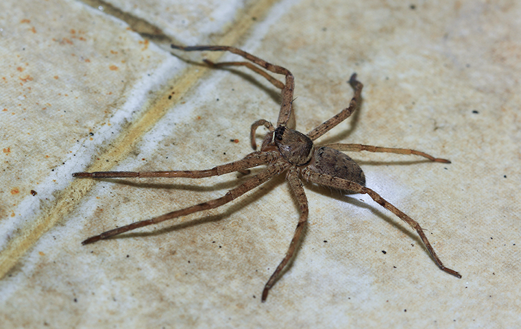 a  brown spider on a tile floor in a house in eureka