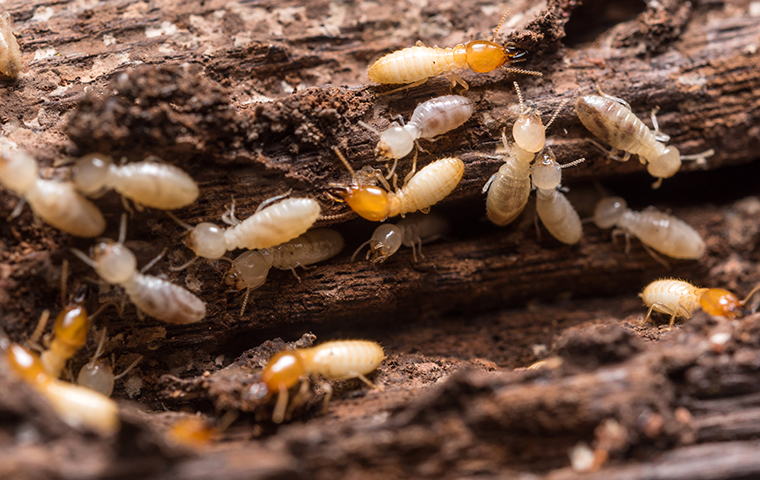 many termites crawling and damaging the wood of a california home