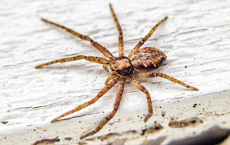 a brown spider crawling on house siding in california
