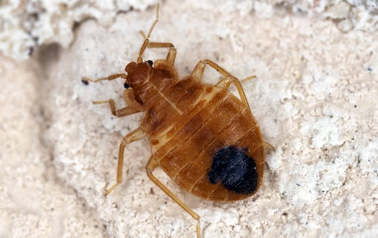 a bed bug on bedding in a home in west palm beach florida