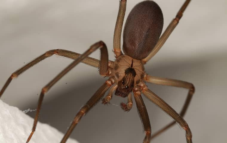 brown recluse spider in florida