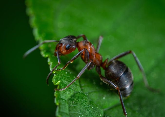 identifying common florida ants