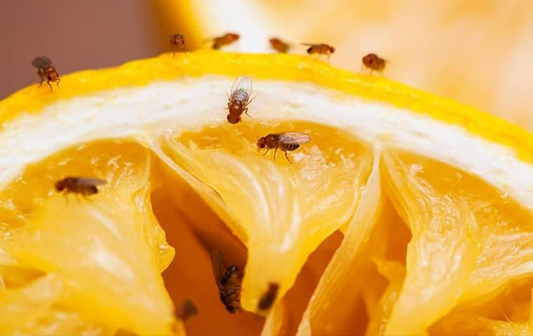 fruit flies on a grape fruit