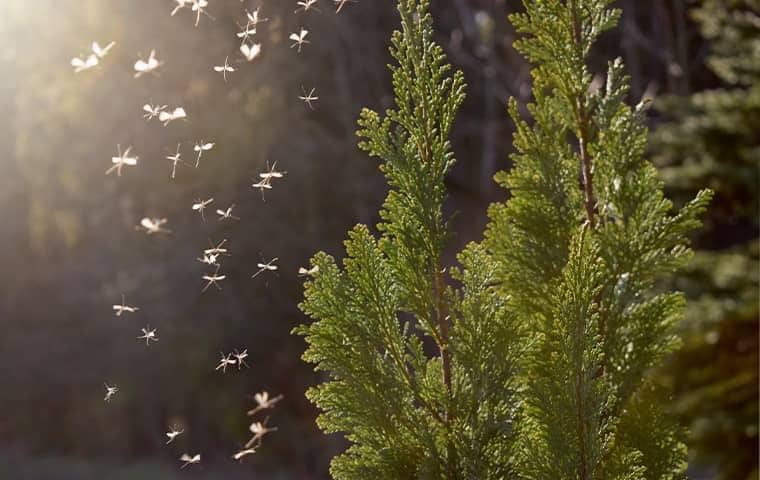 mosquitoes swarming in south florida trees