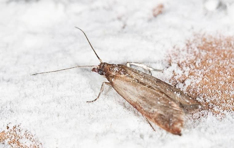 pantry moth in a florida pantry
