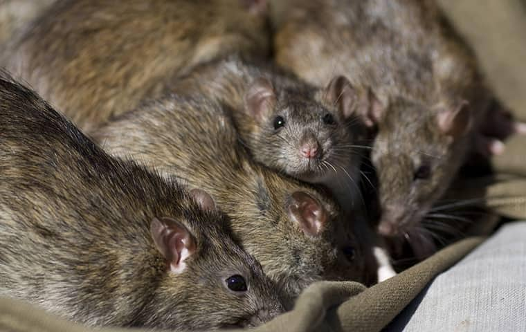 many rats in a south florida pantry