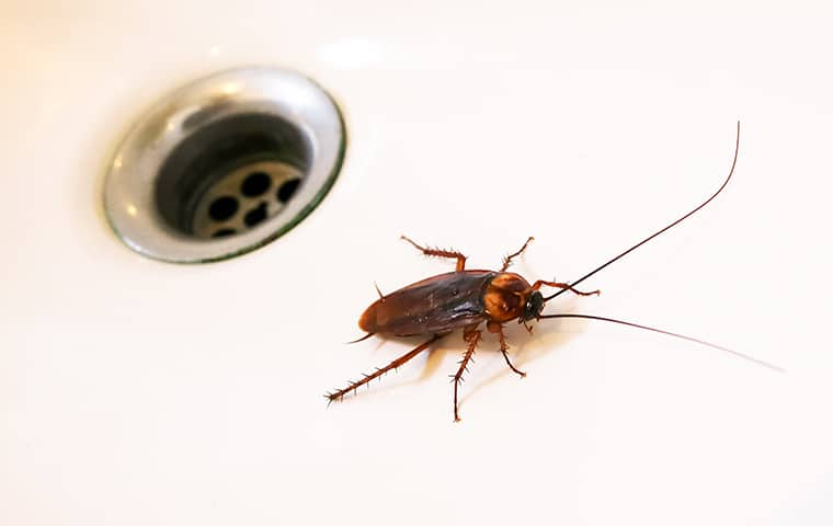 a cockroach beside a drain in a home in tequesta florida