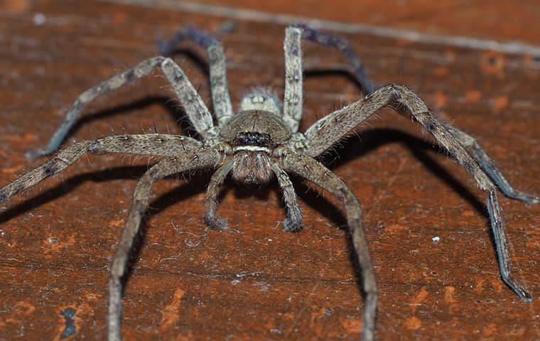 a large huntsman spider crawling on the floor in a florida home