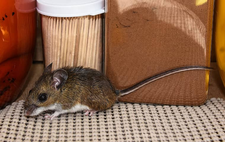 a mouse outside a home in jensen beach florida
