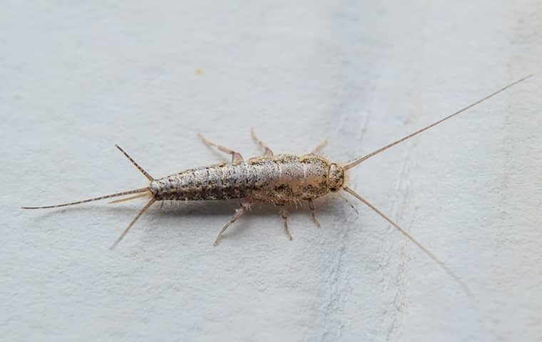 a silverfish in a bathroom in jensen beach florida