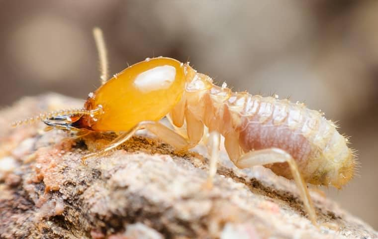 a termite outside a home in vero beach florida