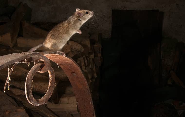 a gray rat perched in a florida residential attic