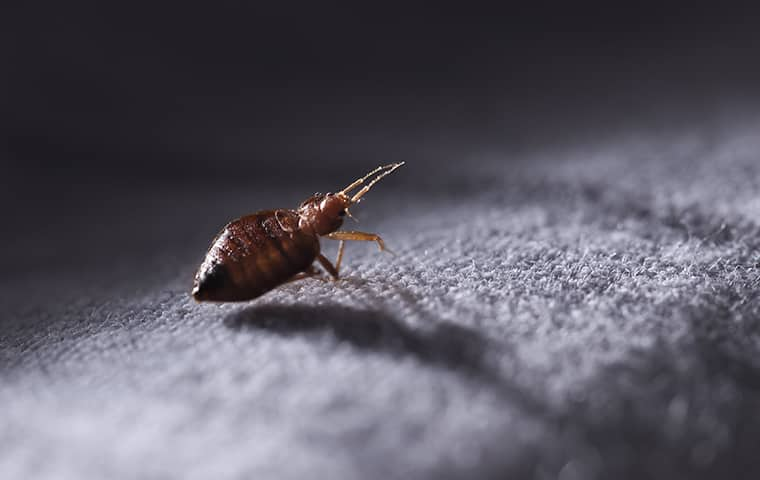 a bed bug crawling on fabric in  a collierville tennessee home