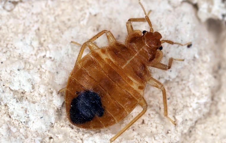 a bed bug infestation during the holidays on memphis tennessee