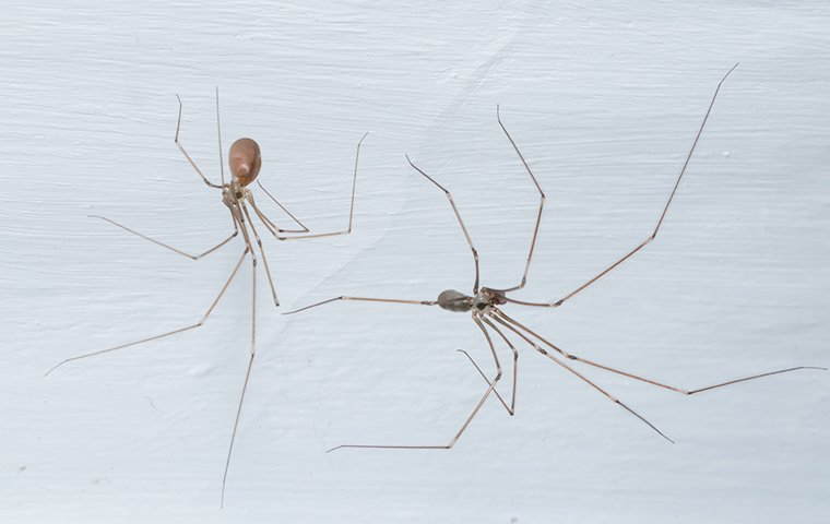 two cellar spiders in a home