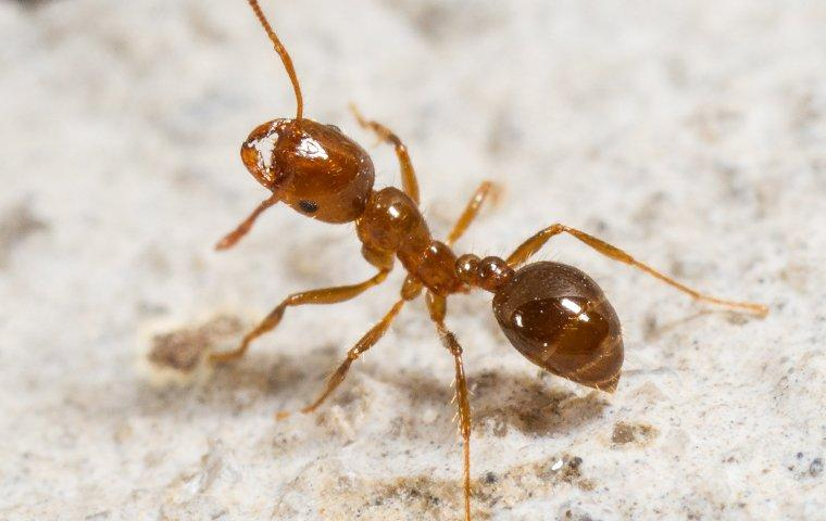 a fire ant walking on the walkway to a home