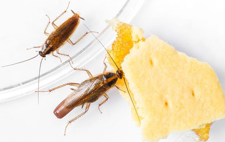 a cockroach infestation in memphis tennesee