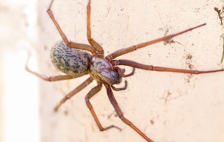 a house spider crawling along the livingroom walls inside of a memphis tennesee home