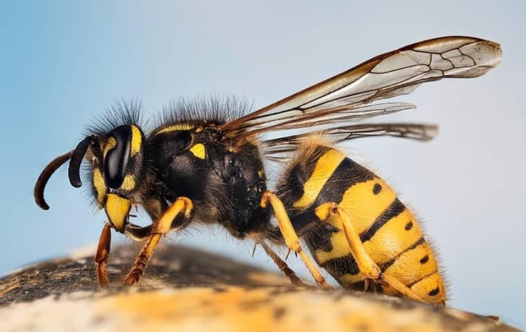a black and yellow paper wasp resting n a structure in a memphis yard