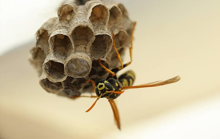 wasp on a nest