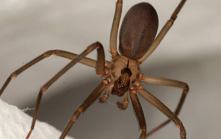 a brown recluse spider hanging from a web in a millington tennessee home