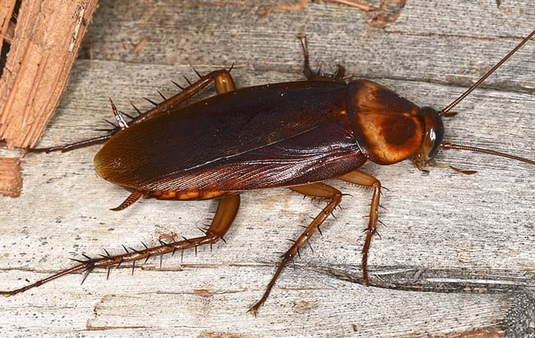 a cockroach crawling on wood inside of a home in mumphord tennessee