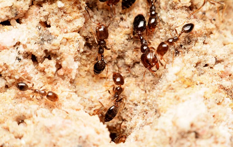 fire ants emerging from an anthill outside of a home in memphis tennessee