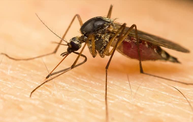 a mosquito biting a human in millington tennessee