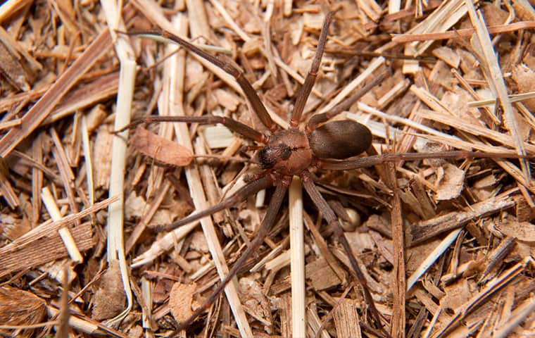 a brown recluse spider crawling outside of a home in cordova tennessee
