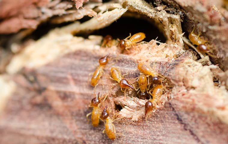 termites eating wood inside of a home in west memphis tennessee