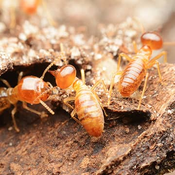 termites eating wood inside of a home in millington tennessee
