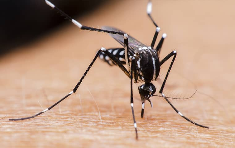 a mosquito biting an arm in collierville tennessee