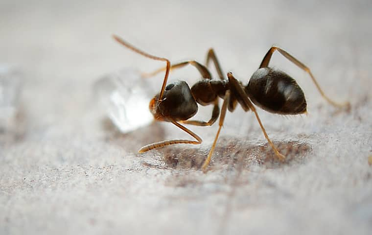 an odorous house ant crawling inside of a home in somerville tennessee
