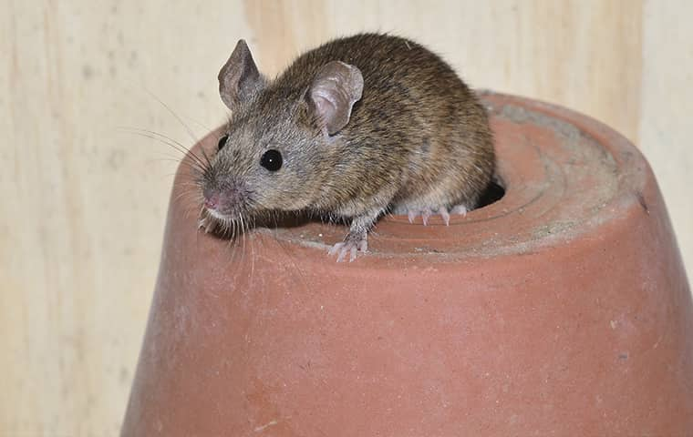 a mouse standing on a pot inside of a home in germantown tennessee