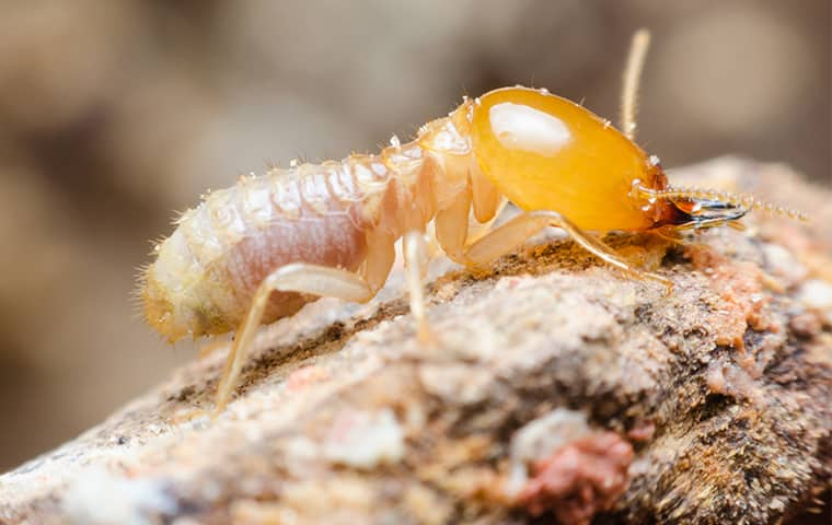 a termite crawling on wood inside of a home in west memphis tennessee