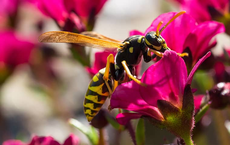 a wasp on a pink flower outside of a home in bartlett tennessee