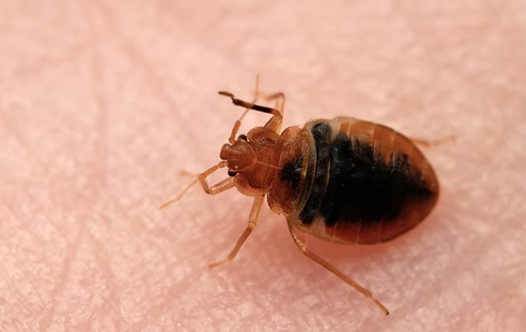 a bed bug on a persons skin in dallas texas