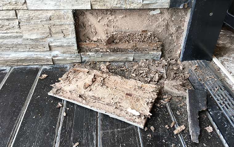 termites inside of a damaged wall
