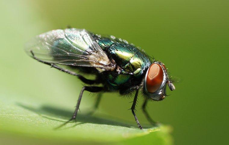 bottle fly landing on a leaf
