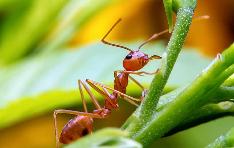 a red fire ant crawling up a vibrant green leaf in a sunny texas yard