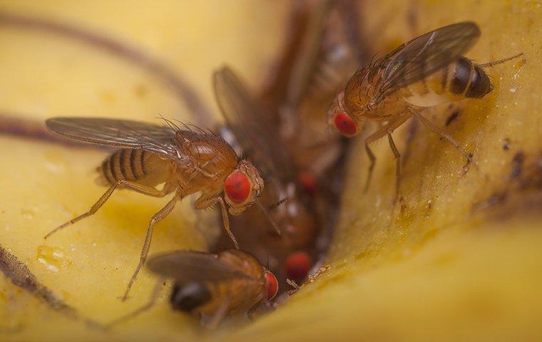 fruit flies on trash