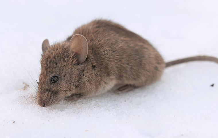 a house mouse scurrying across a kitchen floor